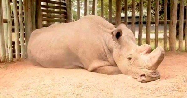 В Кении скончался последний самец северного белого носорога