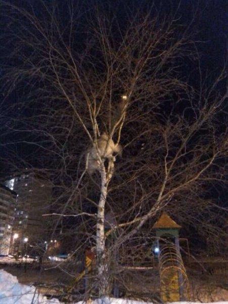 В Подмосковье хаски залез на дерево, гоняясь за котом