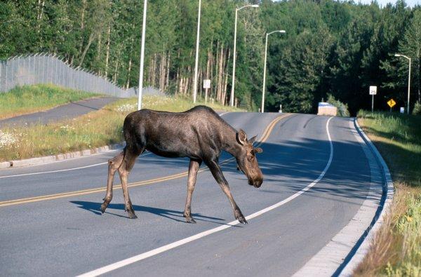 Юная автоледи сбила лося в Ивановской области