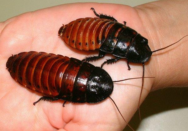 Своей живучестью тараканы обязаны длинному геному – Ученые