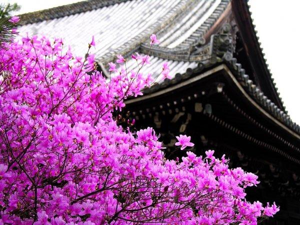 В Японии начала цвести сакура