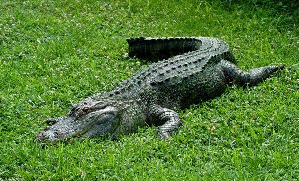 Крокодил посетил больницу в Зимбабве, рассердился и умер