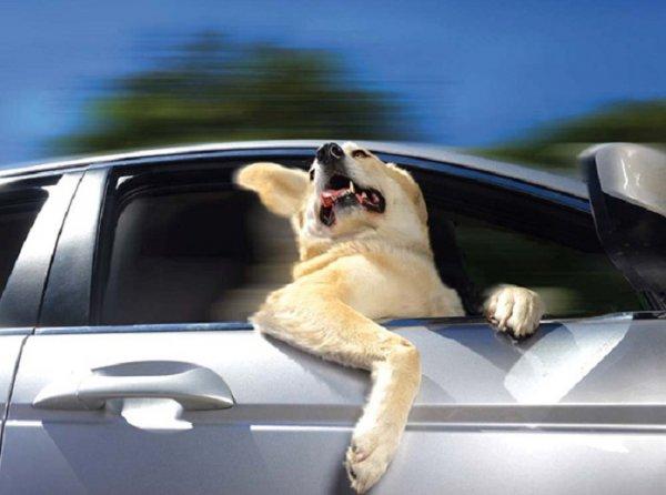 Половина американцев не заботится о безопасности собак в машине