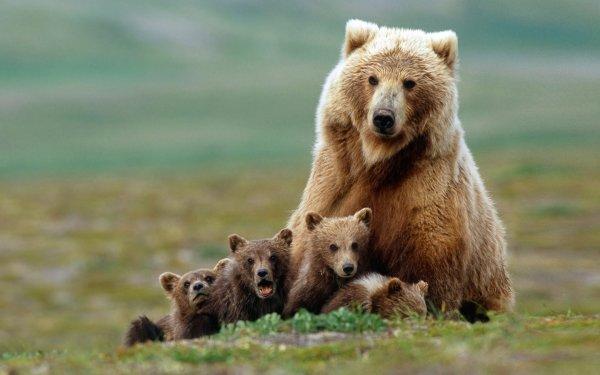 Скандинавские медведицы стали дольше присматривать за своими детьми из-за охотников