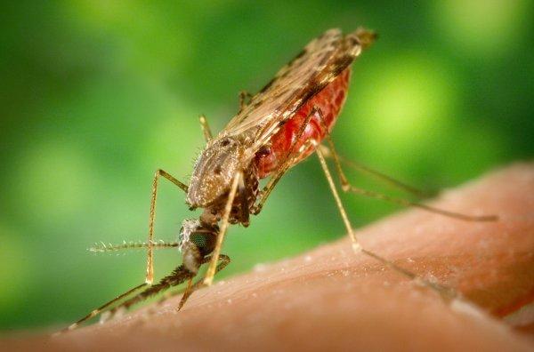 Учёные планируют бороться с малярией при помощи препарата, убивающего комаров