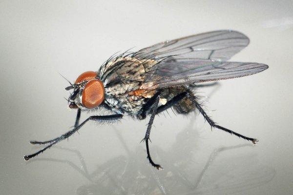 Ученые объяснили, как обычная муха может убить человека