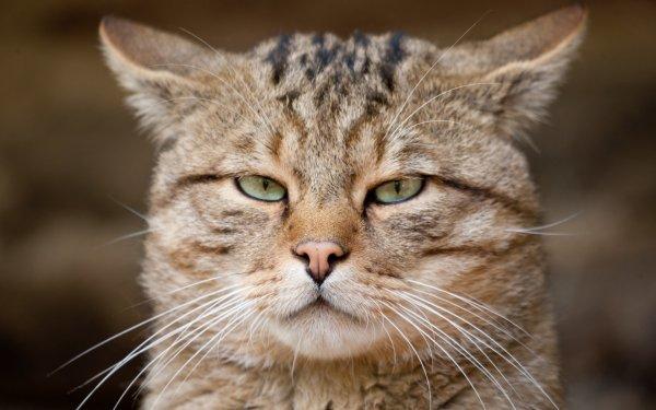 В Шотландии сняли на видео крупнейшего в истории лесного кота