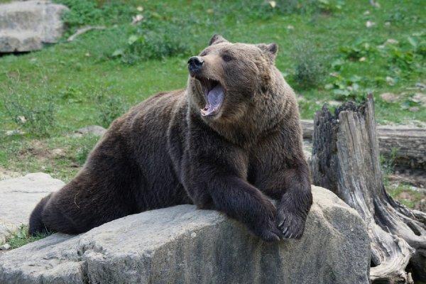 Румынские охотники собираются отомстить мишке-воришке за кражу спиртного