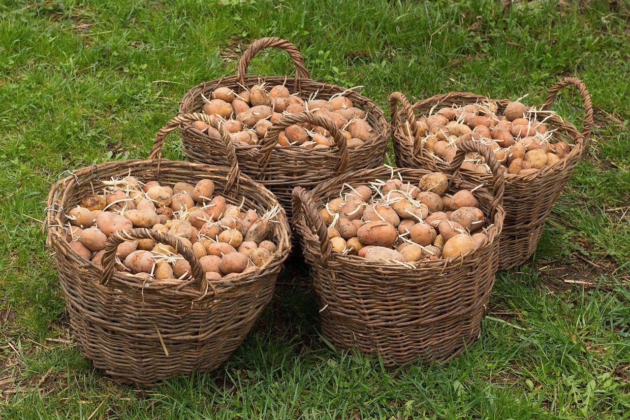 Россельхознадзор может запретить ввоз картофеля из Беларуси из-за реэкспорта