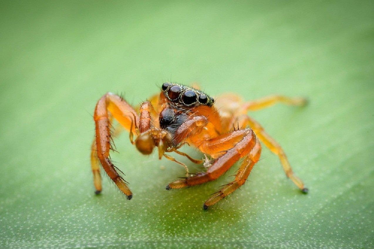 Лекарство изяда паука несомненно поможет защитить отпаралича
