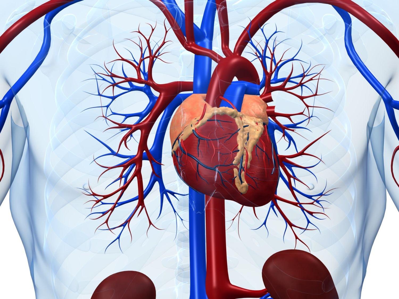 сердце и сердечно сосудистая система картинки ваша девушка постоянно