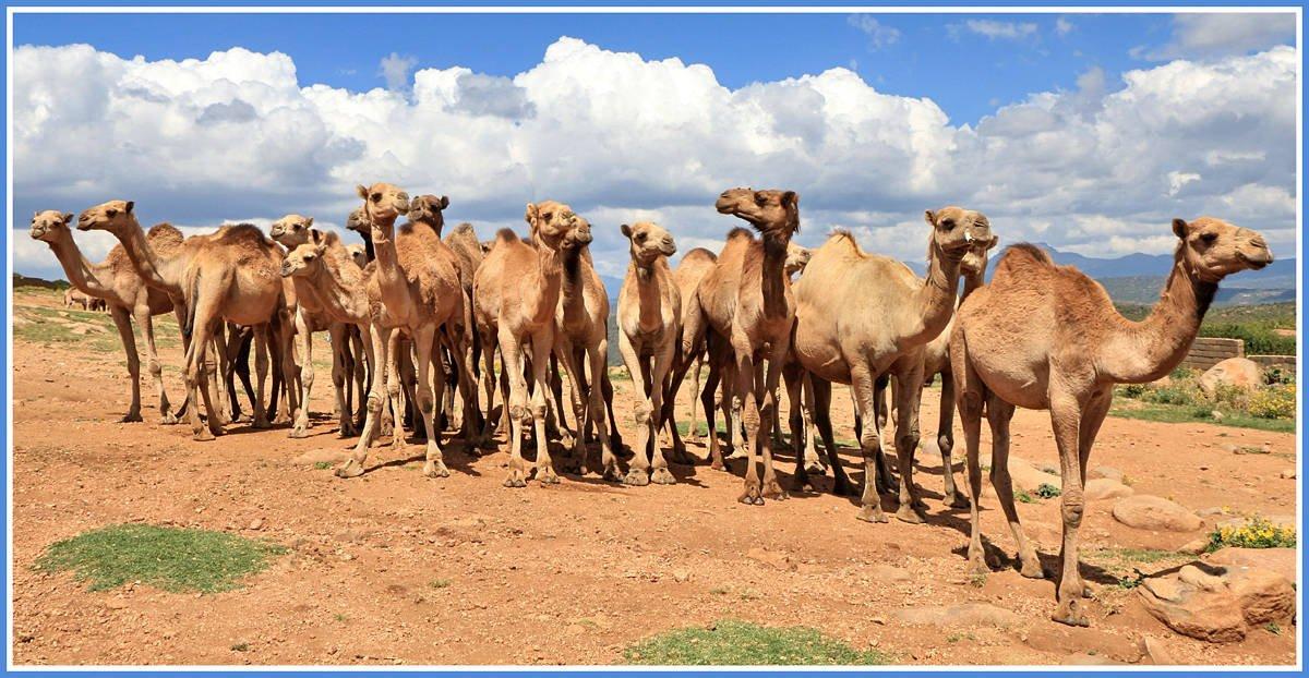 Порно видео совокупление у верблюдов