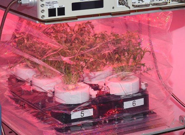 В апреле астронавты NASA начнут выращивать на МКС «космическую капусту»