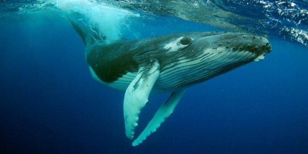 Ученые выяснили, что у китов-носорогов есть репертуар из 184 песен