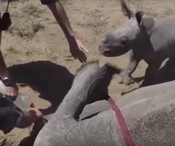 Видео с носорогом, защищающим маму от ветеринаров, умилило соцсети