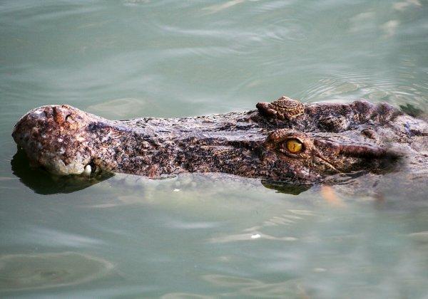 Четырехметрового крокодила-людоеда снова выпустили в реку