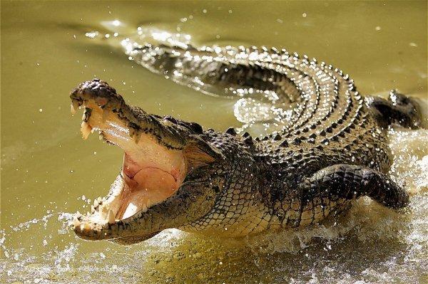 В Австралии крокодил убил сородича и съел его хвост