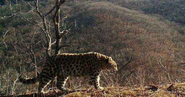 Самку приморского леопарда могут назвать «Марусей»