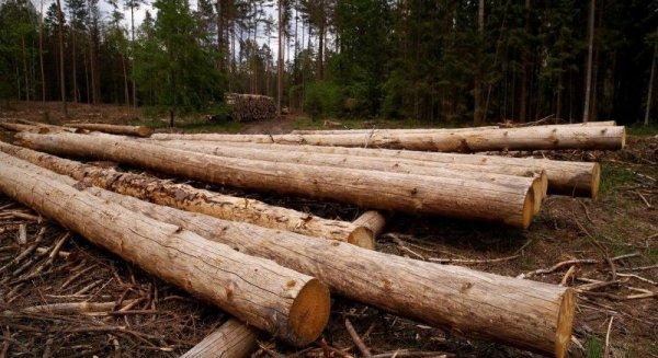 Миллионные штрафы заставили Польшу прекратить вырубку Беловежской пущи