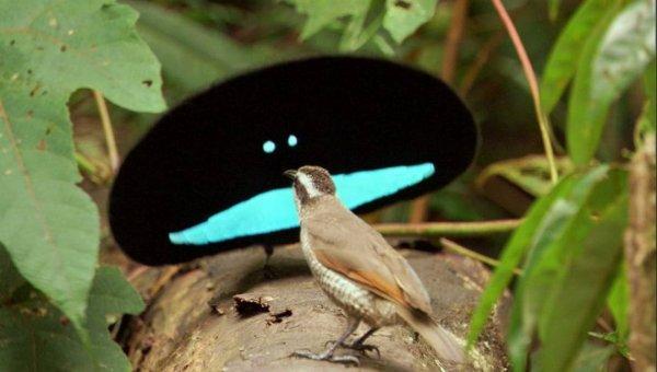 Учёные обнаружили новые виды чудной райской птицы