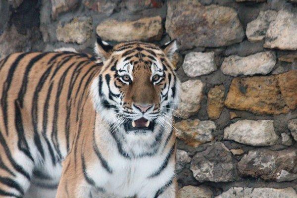 Матвиенко и Володин занялись регулированием содержания тигров в квартирах