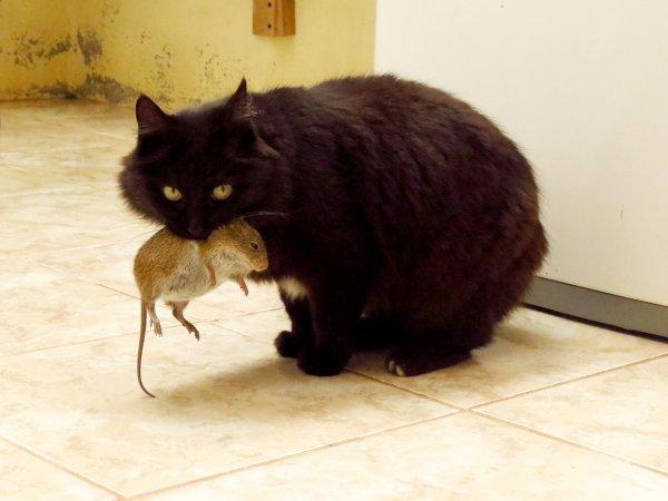 «Оскар» для крысы: «Мертвый» грызун пытался сбежать от кота