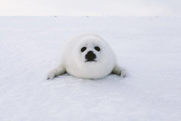 Камчатский Жрун: Специалисты нашли самого толстого новорожденного тюленя