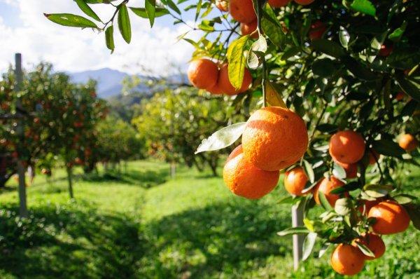 Испанцы показали сладчайший сорт мандарина в мире