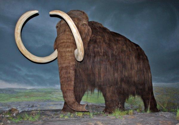 Ученые собираются скрестить ДНК древних мамонтов с современными слонами