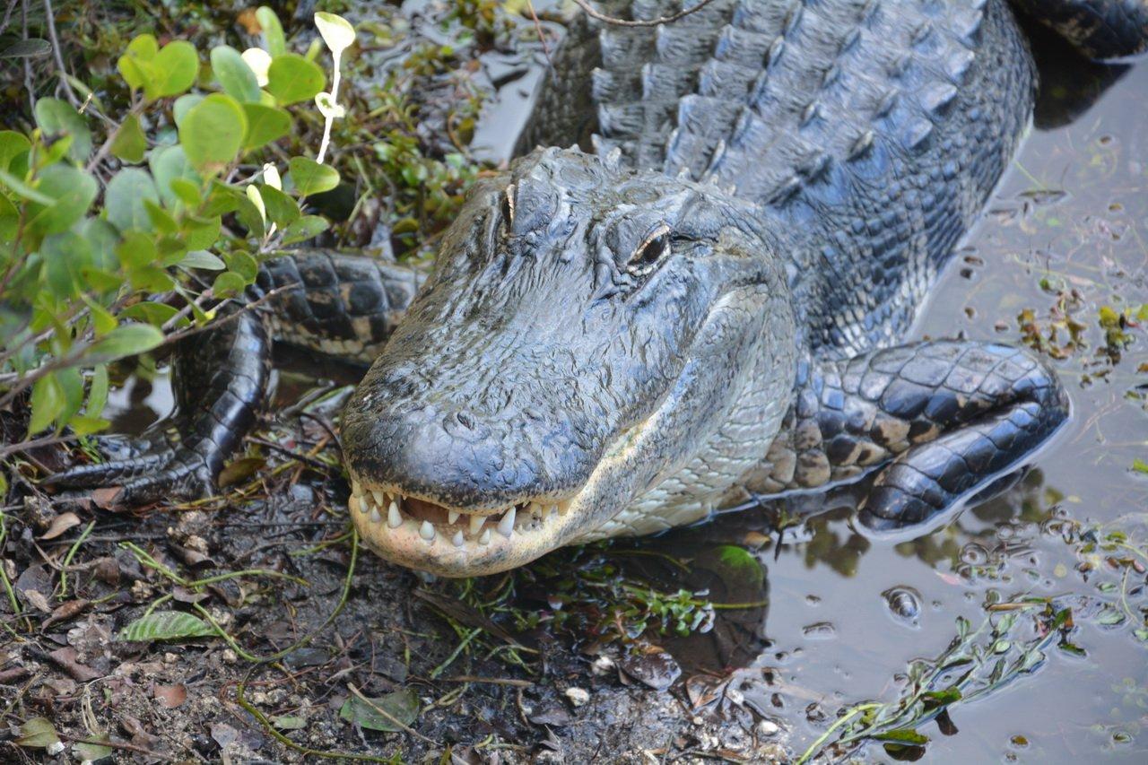 ВСША ищут ребенка после предполагаемого нападения аллигатора
