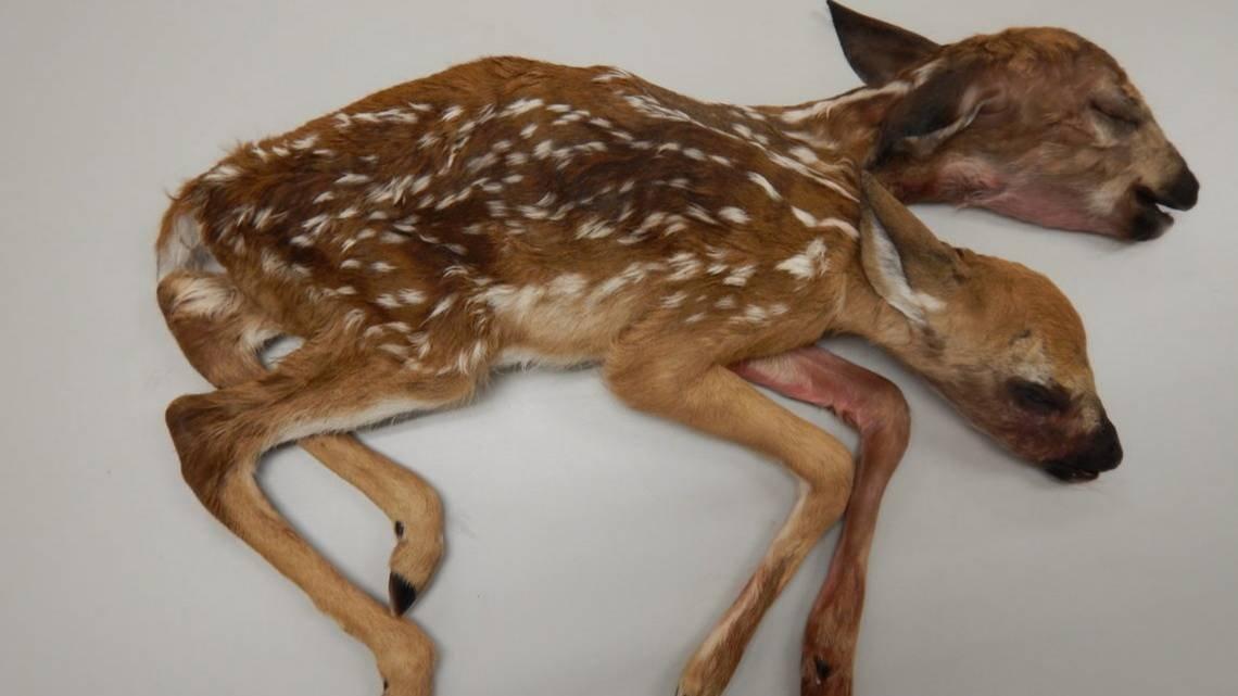 Грибник изсоедененных штатов отыскал влесу труп двуглавого олененка