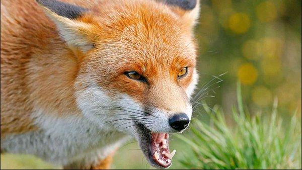 Дикая лиса устроила погоню за собакой в Орле