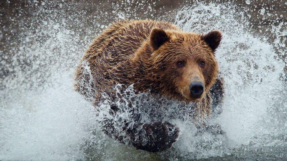 Рыбак утонул в реке, спасаясь от медведя. Друзья мужчины, снявшие на видео всю драму, не смогли ему помочь (18+)