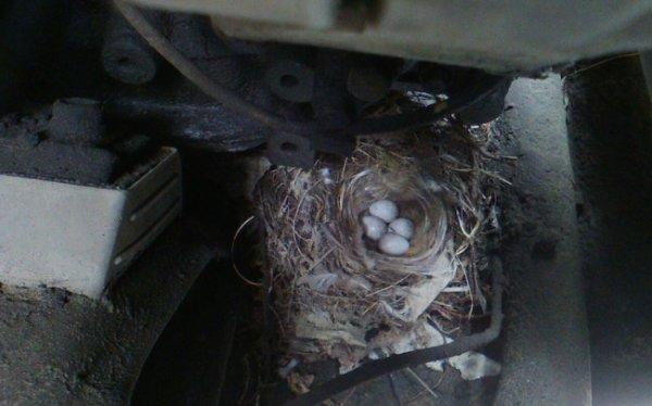 Почему бы и нет: В Кургане птица отложила яйца под капотом «ГАЗели»