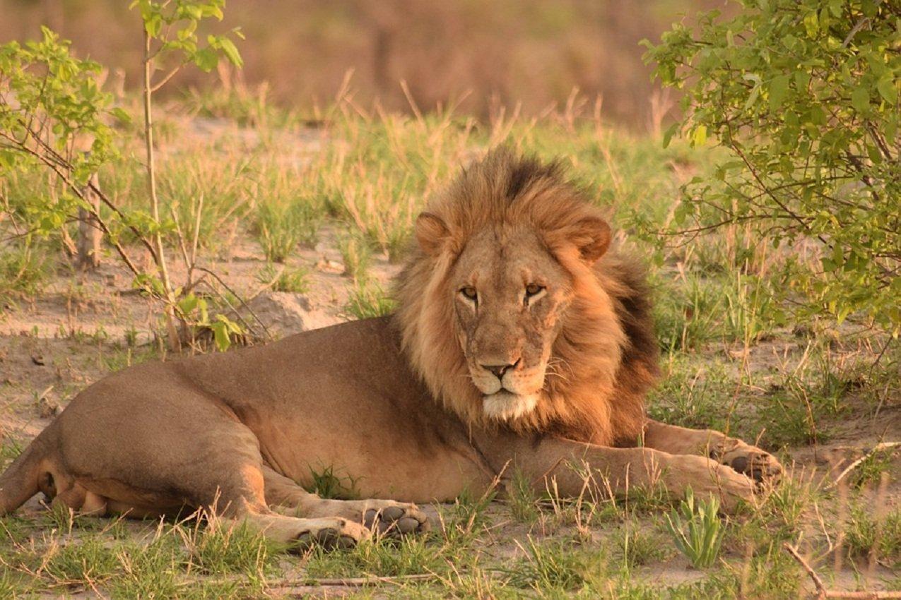 понимает, что африканские львы фото обработки фото