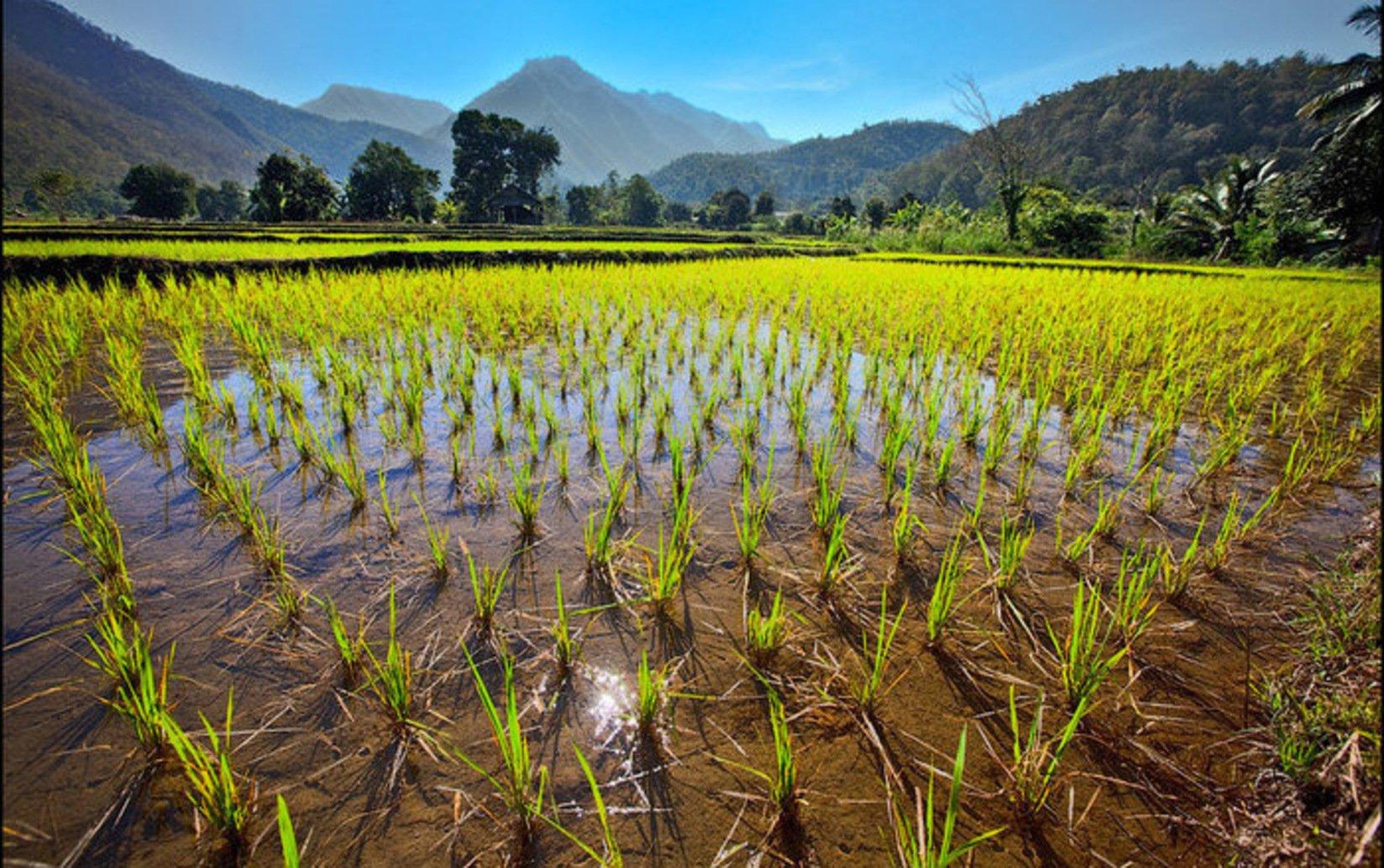 ВИспании вырастили лекарство отВИЧ нарисовой плантации