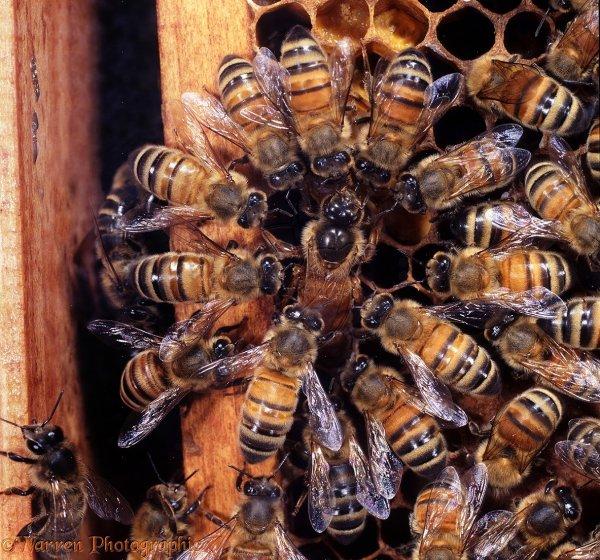 Ученые: Слонов можно отпугивать пчелиными феромонами