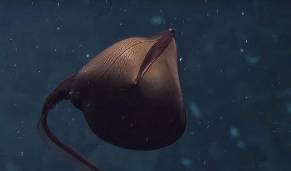Ученые впервые сняли на камеру странное существо из глубин океана