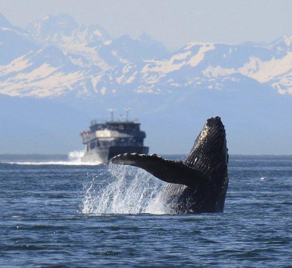 Ученые: Горбатые киты больше не поют рядом с морскими кораблями