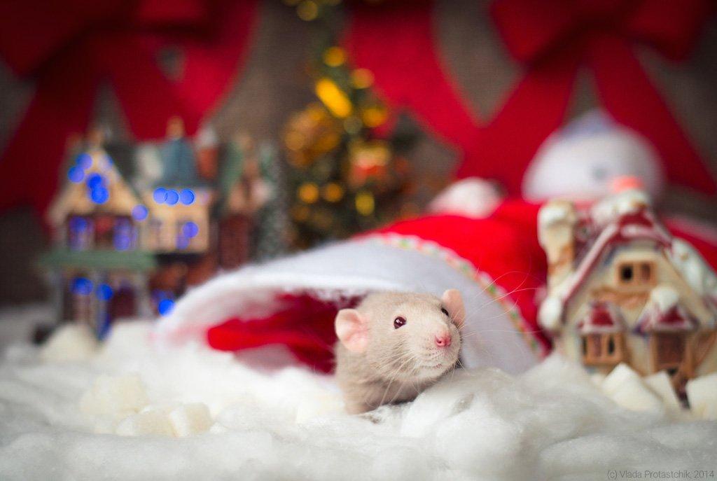 фото картинки с наступающим новым годом с мышкой его жизнь объясняется