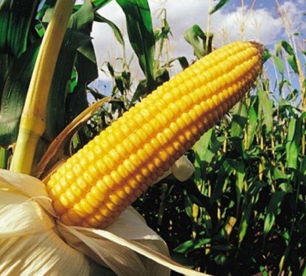 Чтоб початок не завял! Кукуруза укрепляет мужское здоровье