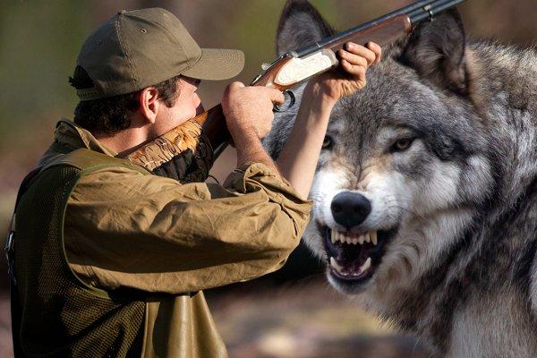 «В охоте на волка большая вероятность превратиться в жертву» - профессиональный волчатник